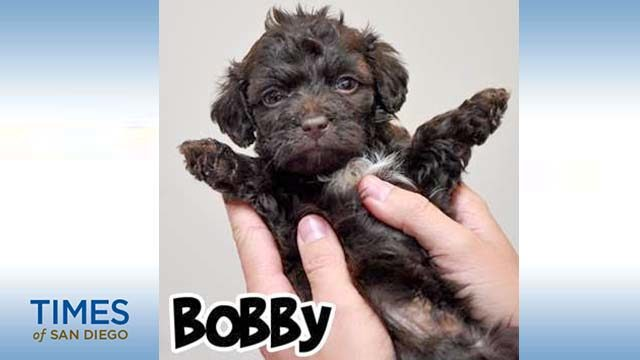 Poodle-blend Bobby of Helen Woodward Animal Center is an MVP candidate for Puppy Bowl XVI.