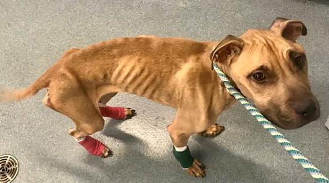 ヵ月後に見つかりに痩せにRamona,'Flaco'準備のための犬を採用