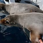 Return of rescued sea lions came after weeks of rehab for malnutrition