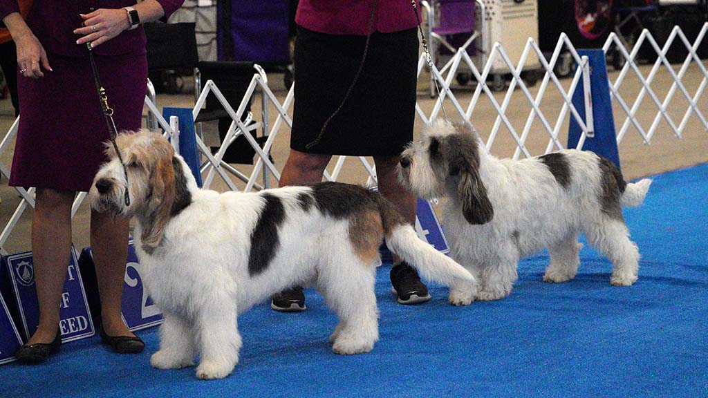 These Grand Basset Griffon Vendeen are among the rarest of breeds.
