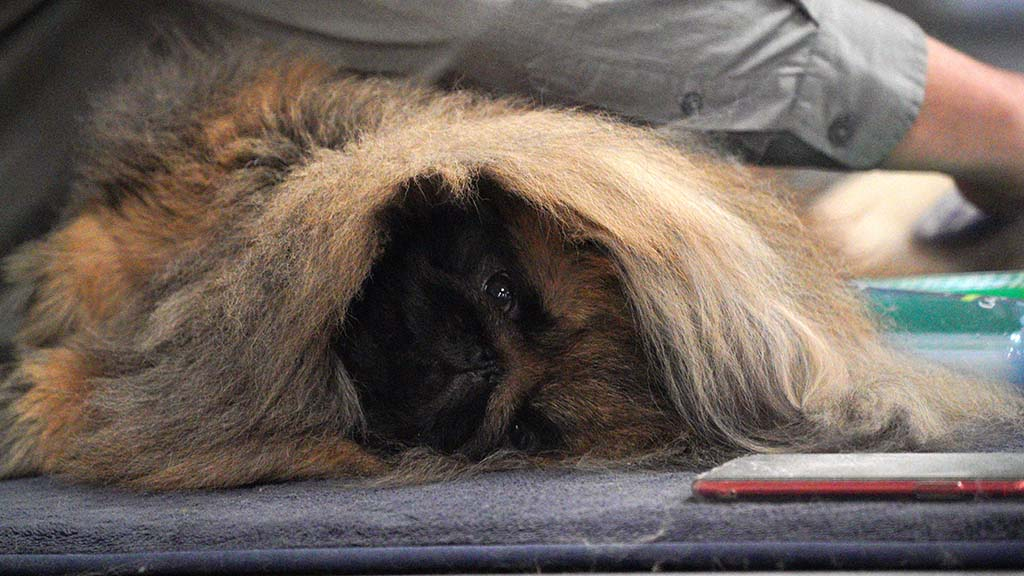 A Pekingese stays mellow as his handler gets it ready for competition.