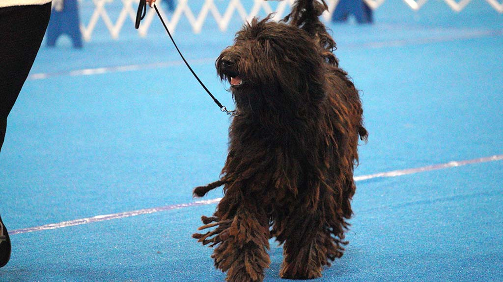 A Bergamasco Sheepdog with natural dreadlock-like cords, struts in the ring.