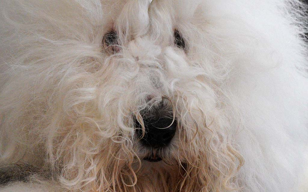 An Old English Sheepdog waits patiently as it is groomed at the Silver Bay Kennel Club dog show.
