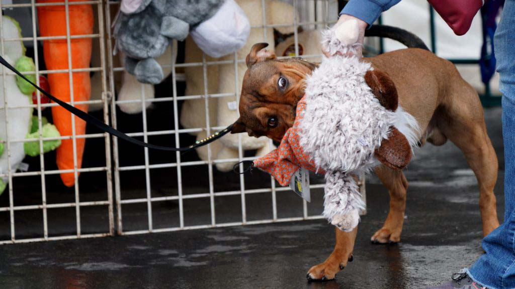 A dog selects a new toy at the Silver Bay Kennel Club dog show at the Del Mar Fairgrounds.