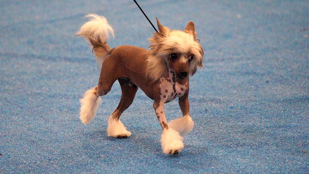 A Chinese Crested struts its stuff in the ring at the Silver Bay Kennel Club dog show in Del Mar.
