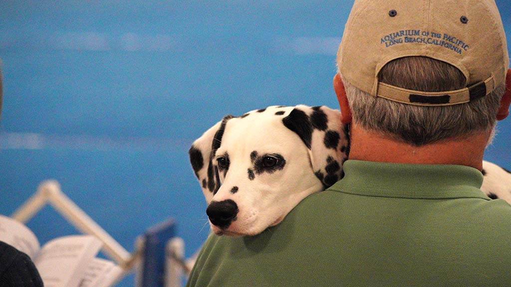 A Dalmatian waits its turn on its owner's shoulder at the Silver Bay Kennel Club dog show.