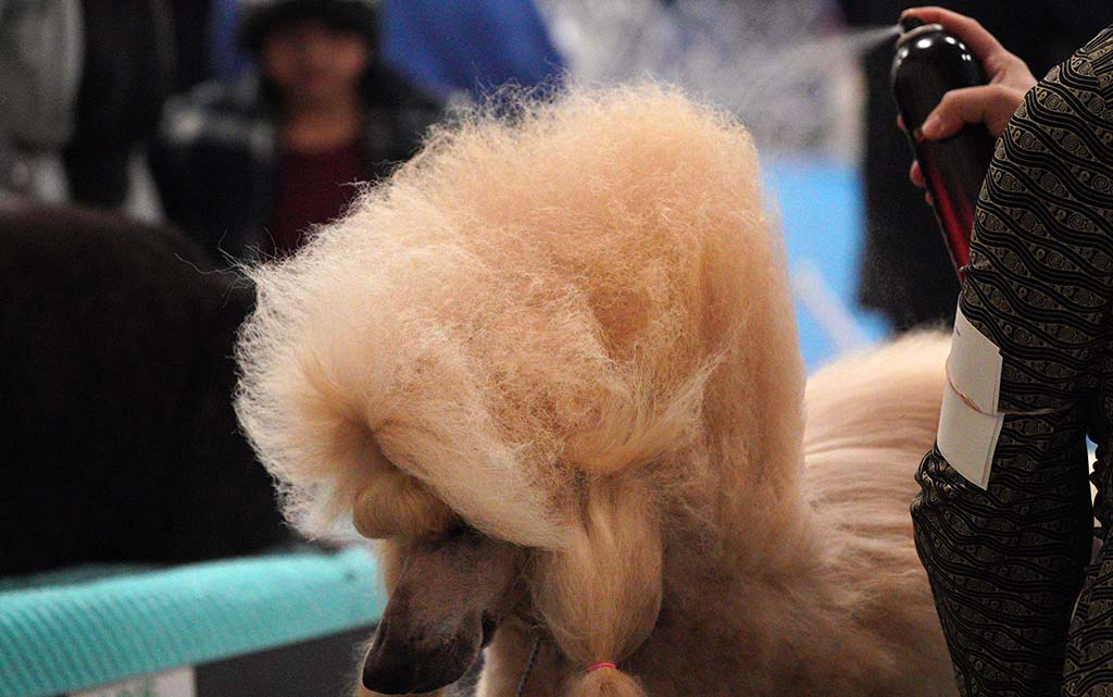 A standard poodle gets a spritz of hair spray before heading into competition at the dog show.