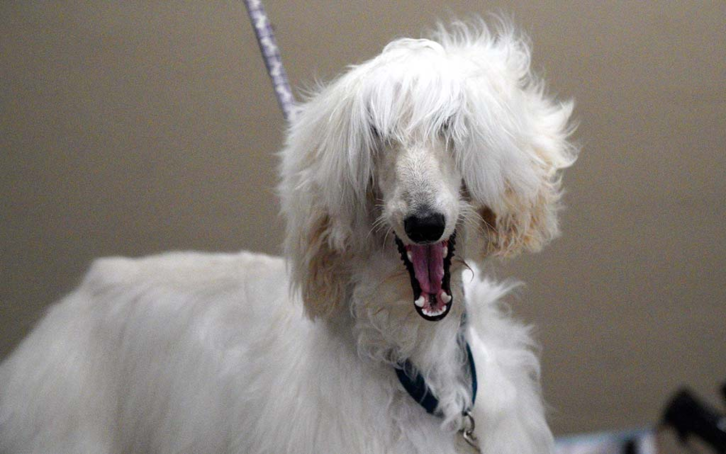 An Afghan Hound gets a blow dry during grooming at the Silver Bay Kennel Club dog show.