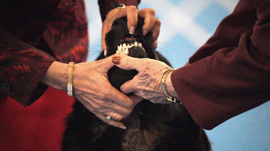 Judges examine all parts of the dogs, including their teeth.