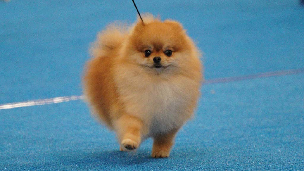 This Pomeranian puts its best paw forward for the judge at the Silver Bay Kennel Club dog show in Del Mar.