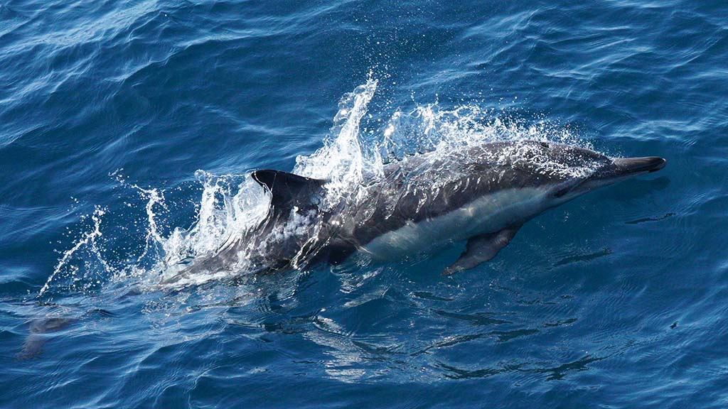 Pods of Pacific white-sided dolphins and common dolphins swam beside the whale watching boat.