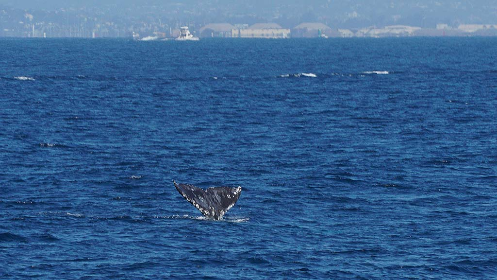 A gray whale heading southbound takes a deep dive with only its fluke showing.