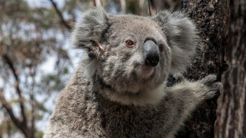 コアラが救出した火災から復帰オーストラリア青山