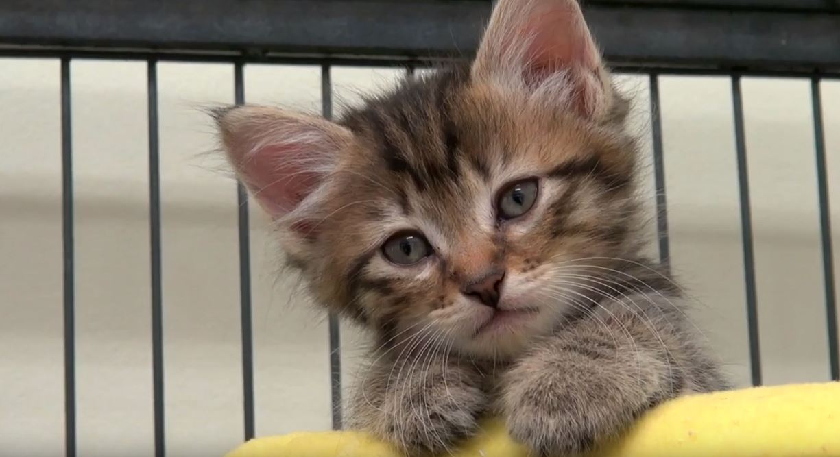 Humane Society der Gastgeber Kätzchen Dusche