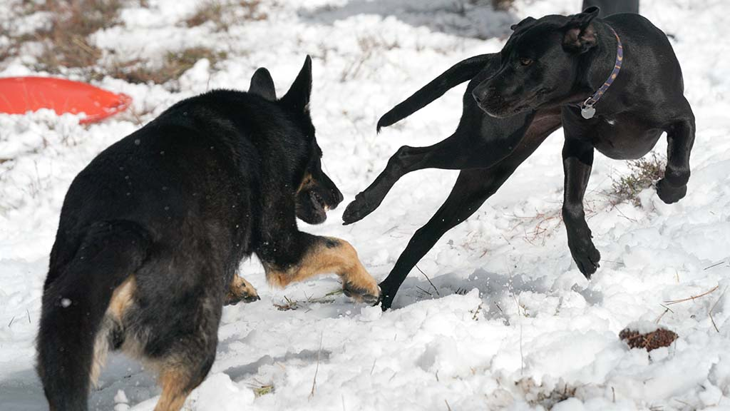 Dogs seemed to have as much fun playing in the shallow snow as their human companions.