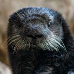 Rescued sea otter Nova