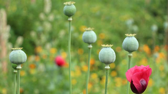 Papaver red flowers and green unripe poppy heads.