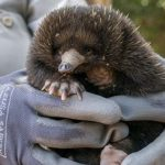Four-month-old echidna puggle is still not yet on public display at San Diego Zoo Safari Park.