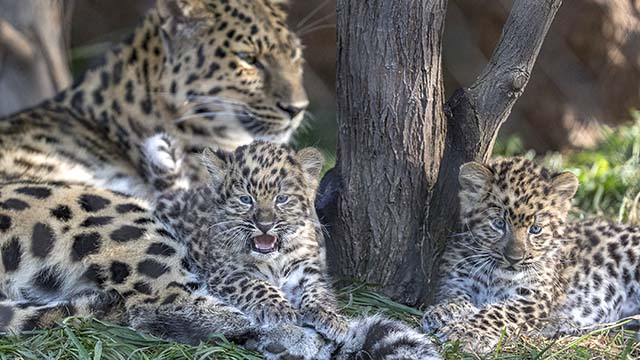 Amur Leopard Cubs, Rarest of Big Cats, Venturing Out at San Diego Zoo - Times of San Diego