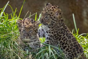 The cubs started to emerge from their den at 20 days old, and went outdoors 10 days later.