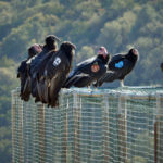 California condors at a sanctuary