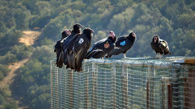 California condors at a sanctuary