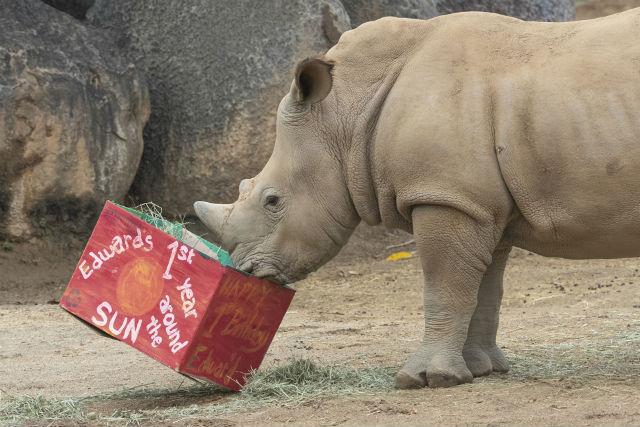 Southern white rhino Edward