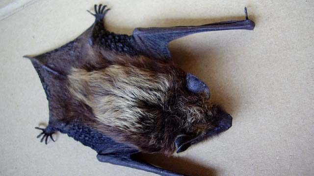 Example of bat like the one found with rabies at San Diego Zoo Safari Park.