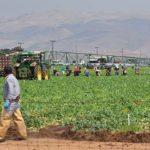 Farmworkers harvest vegetables near Salinas, California.