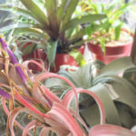 Air plants at Cuffel Farms