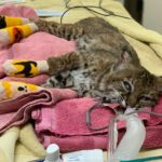The injured bobcat.