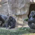 Gorilla troop at San Diego Zoo Safari Park