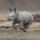 Rhino Calf Explores Main Safari Park Exhibit for First Time
