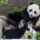 San Diego Zoo's Last 2 Giant Pandas to Return to China