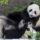 San Diego Zoo's Last 2 Giant Pandas to Return to China