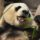San Diego Zoo Postpones Last Viewing Day of Pandas