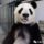 China Hails Return of San Diego Zoo Pandas After Long Trip: 'Both Doing Well'